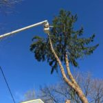 Split Pine Tree Takedown in NJ 2